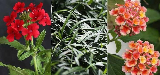 Verbena, grama-preta e lantana (Foto: Evelyn Müller)