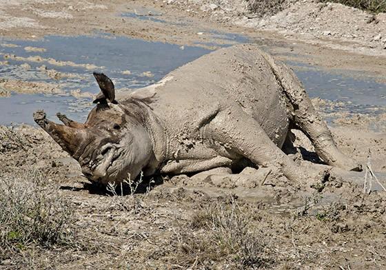 Um rinoceronte-negro banho de lama (Foto: © Haroldo Castro/Época)