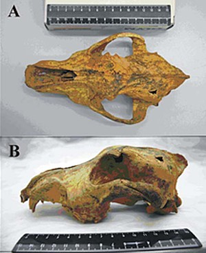 Crânio achado na Sibéria em estudo de 2011 também mostra cão de Altai (Foto: PLoS One/Ovodov et. al.)