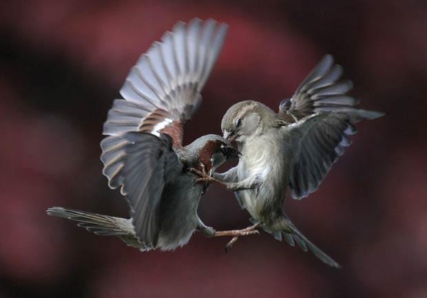 Em maio de 2011, o fotógrafo suíço Urs Schmidli registrou uma briga envolvendo pardais no quintal de sua casa em Sherz, na Suíça. Os pássaros pareciam trocar golpes de kung fu. (Foto: Urs Schmidli/Barcroft Media/Getty Images)