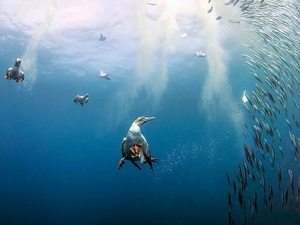 Aves mergulham na costa da África do Sul para caçar presas durante corrida das sardinhas (Foto: Daniel Botelho)