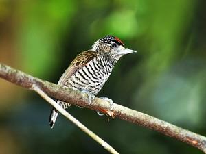 Pica-pau-anão-barrado_Picumnus-cirratus (Foto: Rudimar Narciso Cipriani)