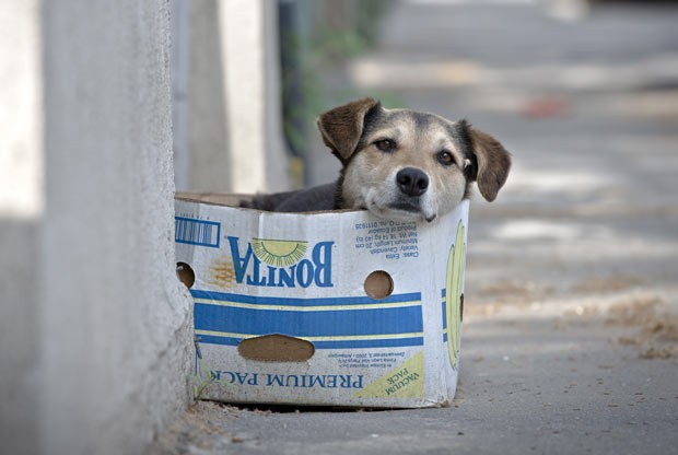 """Cão de rua """"improvisa"""" caminha com caixa de papelão nesta sexta-feira (17) em Bucareste, capital da Romênia (Foto: Vadim Ghirda/AP)"""