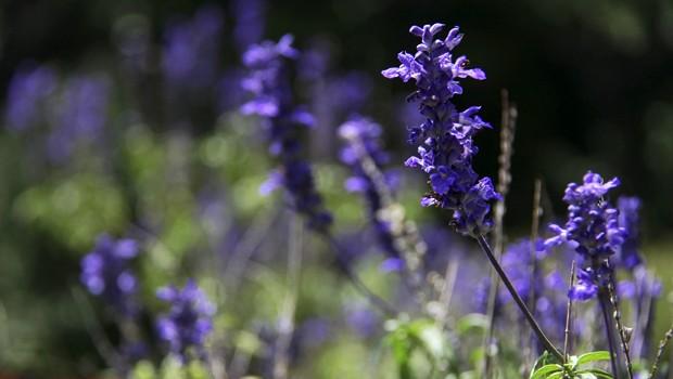 De origem americana, essa planta tem belíssimas flores azul-violetas (Foto: Mário Gomes / TG)