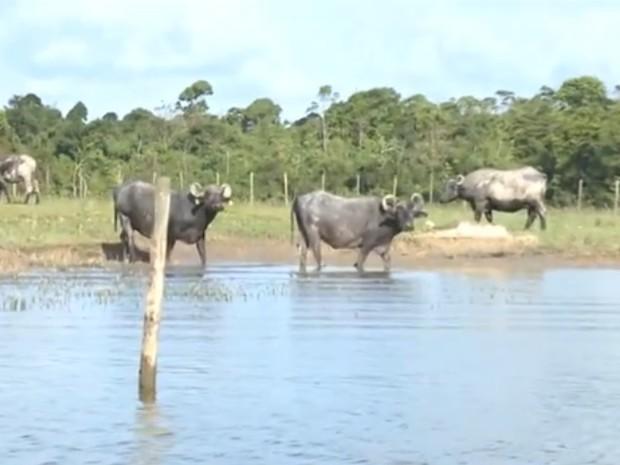 Impacto da criação bubalina resultou na escassez de água na região (Foto: Reprodução/Rede Amazônica)