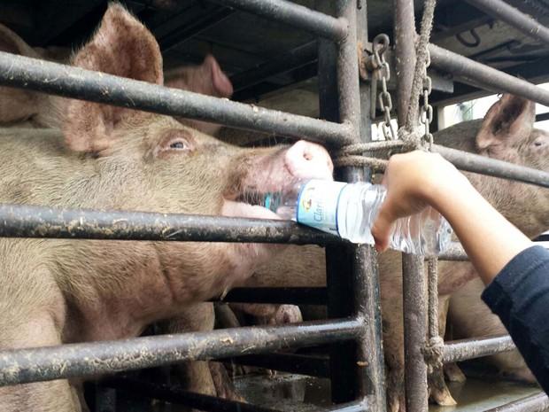 Ativistas fazem uma manifestação contra o abatimento dos porcos, resgatados do acidente no Rodoanel, na última terça-feira (25), em frente à um frigorífico de Carapicuíba, na grande São Paulo, nesta quinta-feira (Foto: Cícero Silva/SigmaPress/Estadão Conteúdo)