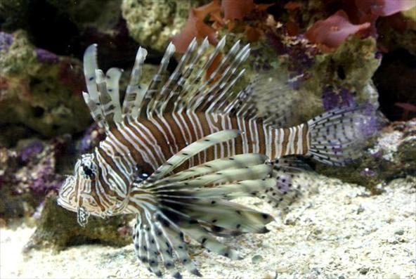 Vive, de preferência, em recifes, tanto que é muito avistado na Grande Barreira de Corais da Austrália (Foto: Arquivo TG)