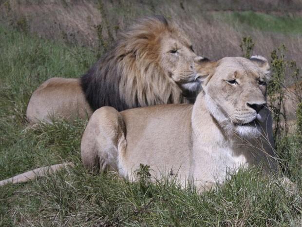 Leões africanos perderam parte de seu habitat nos últimos anos, aponta estudo (Foto: Arquivo/Carley Petesch/AP)