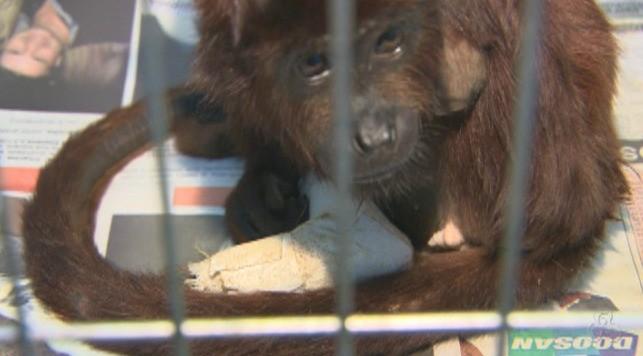 Animal teve duas patas amputadas e uma ainda está ferida (Foto: Amazônia TV)