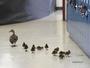 Pata e ninhada fazem 'travessia anual' em escola primária nos EUA