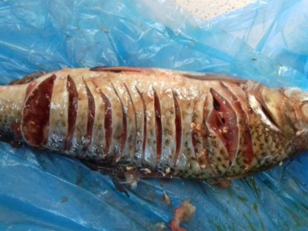 Peixes sofrem infestação de larvas no açude Jaguaribe, em Iguatu, no interior do Ceará (Foto: Alex Santana/Iguatu.net)