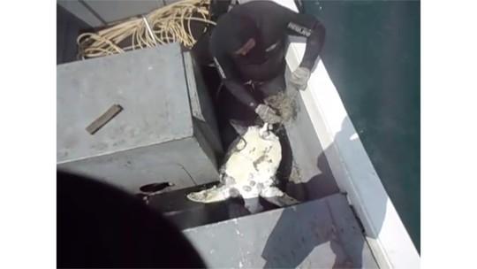 Tartaruga morre em rede de pesca 1 dia após outra ser salva e solta; vídeo