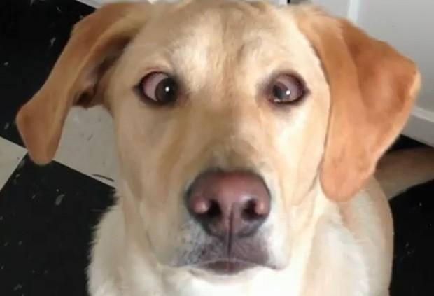 Labrador de 11 meses fica vesgo quando dono pede... com ajuda de softwares de edição (Foto: Reprodução)