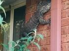 Veja lagarto de 1,5 em parede e mais animais que fizeram 'visita surpresa'