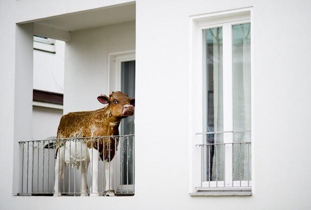 Escultura de vaca foi flagrada em sacada de apartamento em Hanover, na Alemanha (Foto: Julian Stratenschulte, DPA/AFP)