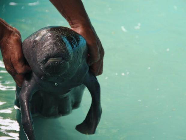 Filhote de peixe-boi foi levado ao Inpa em Manaus (Foto:  Eduardo Gomes/ Ascom Inpa)