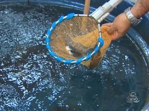 Nos tanques-rede os peixes crescem mais rápido, diz Embrapa (Foto: Reprodução/TV Amapá)