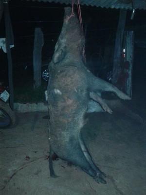 Pará de Minas, Javali, foto, caçador (Foto: G1/G1)