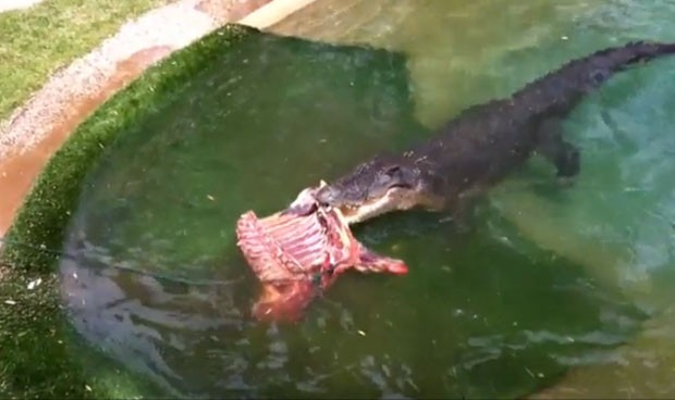 Em seu aniversário de 48 anos, o crocodilo chamado 'Elvis' ganhou um banquete em um parque de répteis perto de Sydney (Foto: Reprodução/YouTube/Aust Reptile Park)
