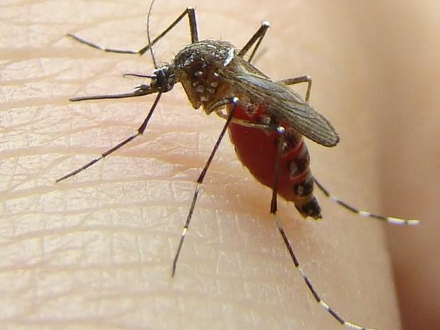 Mosquito é transmissor da Zica, Dengue e Chikungunya (Foto: Divulgação/ Uenf)
