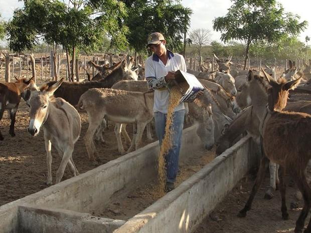 ONG francesa envia recursos para alimentar jumentos abandonados no Ceará (Foto: Eduardo Aparício/Arquivo Pessoal)