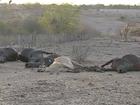 Clostridiose causa morte de gado no Agreste de Pernambuco, diz Adagro