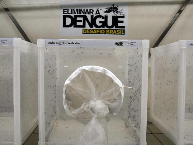 Mosquitos Aedes aegypti, transmissores da dengue. (Foto: Agência Brasil)