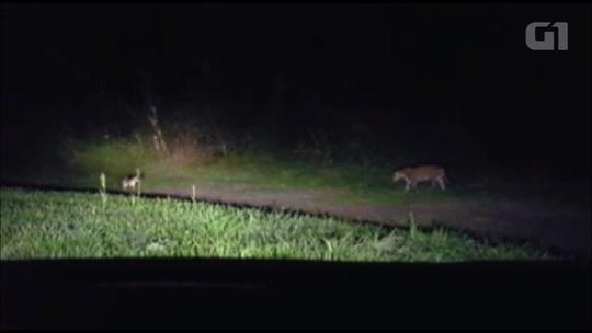 Guia flagra onça caçando cachorro-do-mato no Parque Nacional do Iguaçu