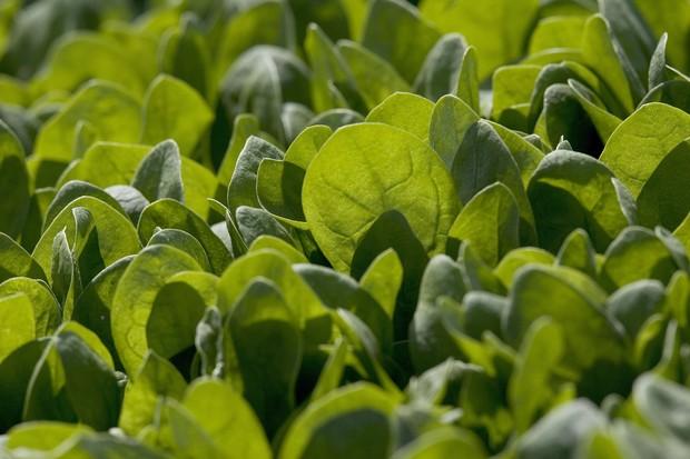 Verduras e legumes têm regras variadas, mas uma geral é ficar de olho na textura das folhas (Foto: Getty Images/ David Paul Morris)