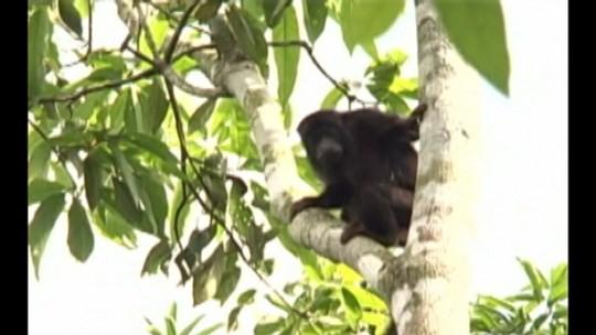 Instituto confirma morte de macaco por febre amarela no oeste do Pará