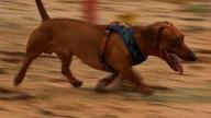Cão daschund requer cuidados especiais na alimentação; confira dicas