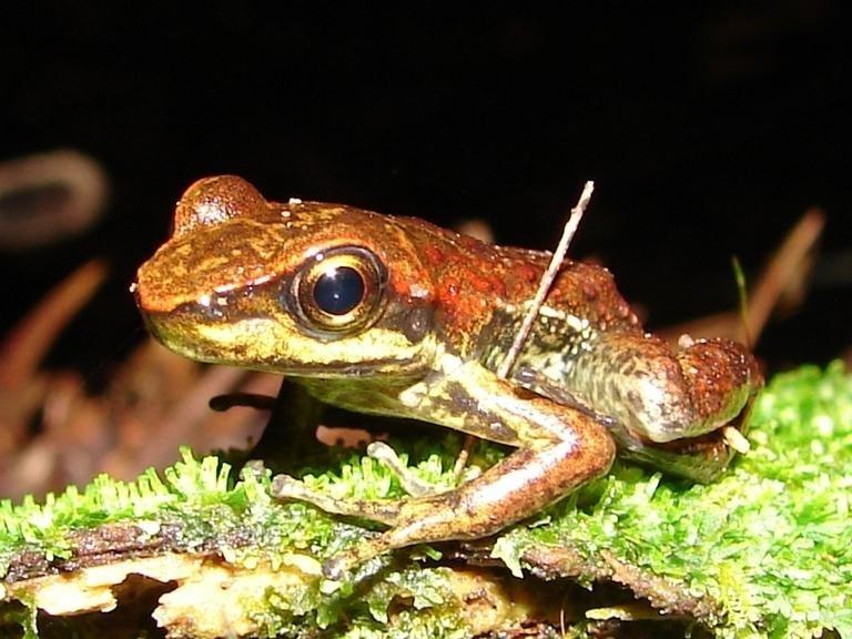 Hylodes meridionalis é uma das espécies que pode sumir (Foto: WIKIMEDIA COMMONS)
