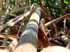 Produtores esperam boa safra de cana-de-açúcar no Noroeste Paulista