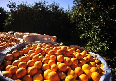 laranja_agricultura_fruta (Foto: Ernesto de Souza/Ed. Globo)