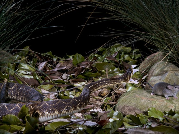 Cobra (Foto: Hudson Garcia)