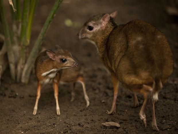 Foto tirada nesta sexta-feira mostra filhote de veado-rato de Java e sua mãe no parque Fuengirola, perto de Málaga  (Foto: AFP Photo/Jorge Guerrero)