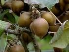 Expectativa é de aumento na colheita da safra do kiwi em SP