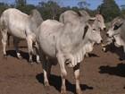 Preço da arroba do boi cai 6% em MS no período da entressafra