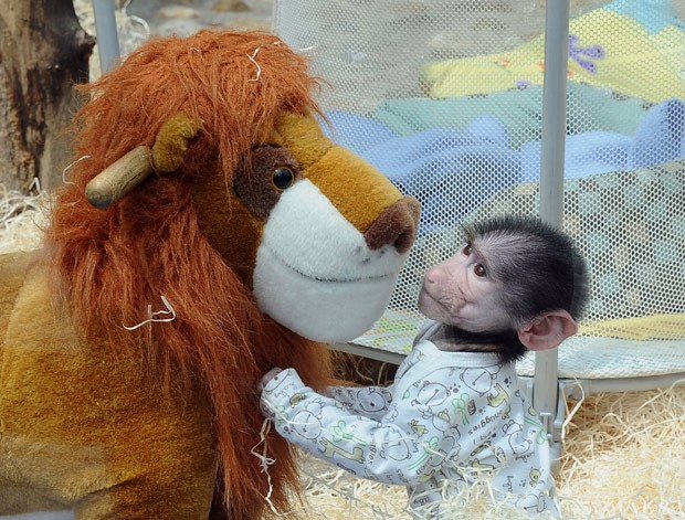 Babuíno Luka tinha sido levado do zoológico de Skopje (Foto: Dragan Perkovski/AP)