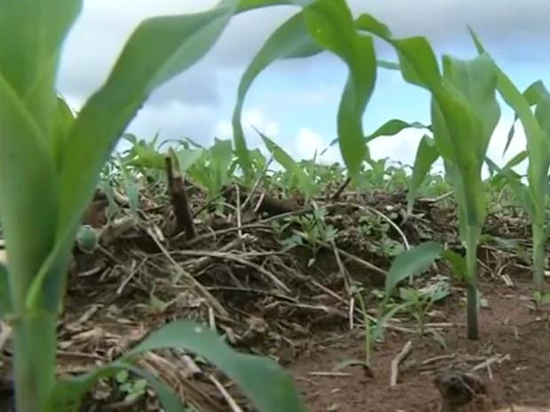 Plantio de milho safrinha em área em Mato Grosso do Sul (Foto: Reprodução/TV Morena)