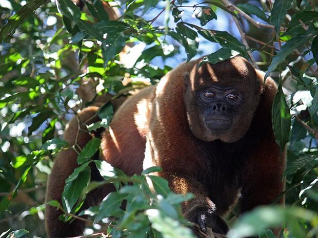 O macaco barrigudo, um dos animais afetados pela caça de subsistência na Amazônia (Foto: CC/flickr.com/jaybock)