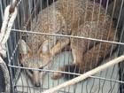 Raposa atropelada é resgatada de rodovia em Itatiba