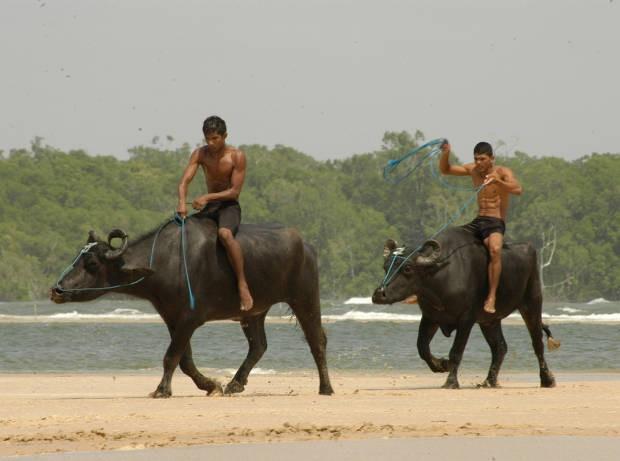 Nativos do Marajó usam os búfalos para atividades cotidianas (Foto: Fernando Araújo/O Liberal)