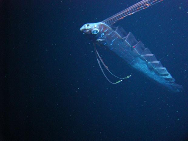 Essa espécie de peixe pode medir até 17 metros de comprimento, afirma pesquisador (Foto: Mark Benfield/Louisiana State University)