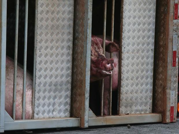 Carreta transportando porcos tomba no Rodoanel (Foto: Marcos Bezerra/Futura Press/Estadão Conteúdo)