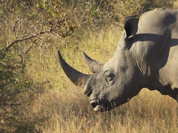Rinoceronte que vive no Parque Nacional Kruger, na África do Sul. Ao menos 588 deles foram mortos neste ano (Foto: Divulgação/Universidade de Virgínia)