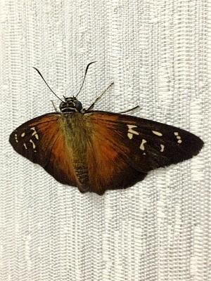 À noite, borboletas costumam entrar em casas para repousar (Foto: Marina Souza/G1 AM)