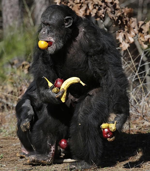 Dois estudos diferentes que procuram o motivo pelo qual a monogamia evoluiu em algumas espécies apontaram razões distintas. Chimpanzés não se encaixam nesse perfil e são extremamente promíscuos (Foto: Gerald Herbert/AP)