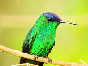 Vive em florestas altas, capoeiras e jardins (Foto: Arquivo TG)