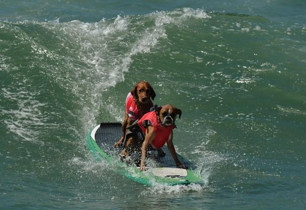 Cães dividem prancha em campeonato de surfe na Califórnia (Foto: Mark Ralston/AFP)